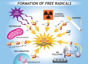 free radical damge